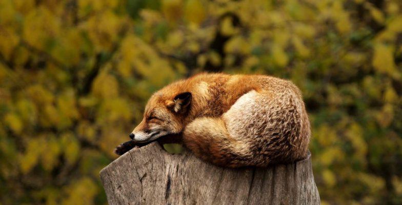 Sprachen lernen im Schlaf Fuchs